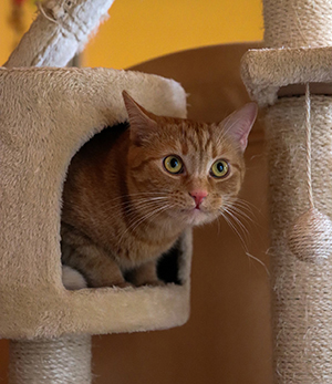 tabby cat looking out from inside a cat tree cubby